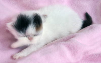 2-week-old kitten